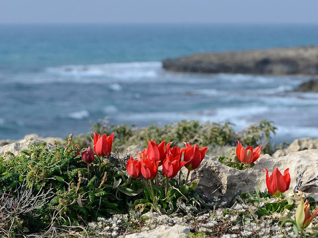 Red flowering alpine tulip species growing wild on a rocky coast line