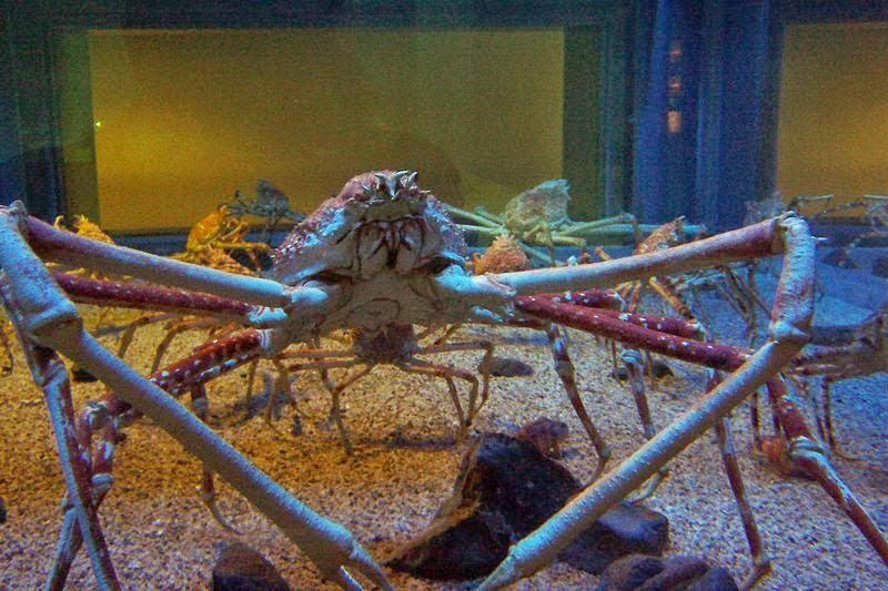 Giant japanese spider crabs at the Kaiyukan Aquarium in Osaka, Japan.