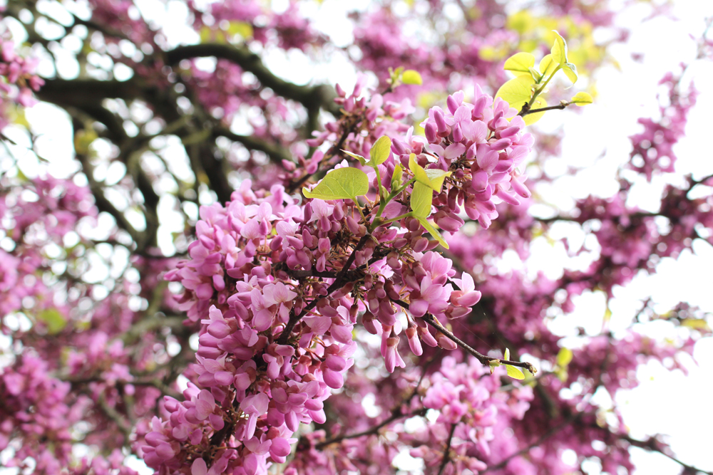 Blossom at Kew Gardens in Spring - London lifestyle blog