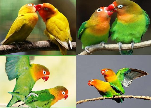 cara memilih indukan lovebird yang bagus