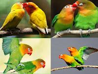 Ciri Dan Cara Memilih Indukan Lovebird Yang Bagus Untuk Diternak
