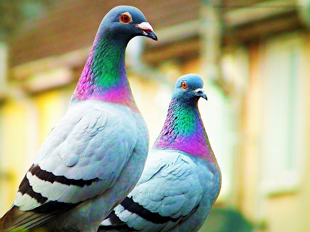 pigeon wallpapers hd