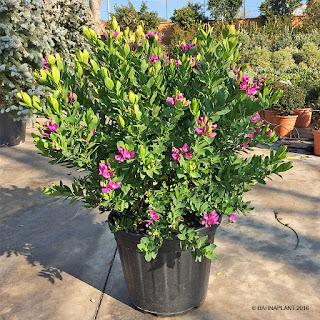 Polygala myrtifolia arbusto ideal para jardines costeros, de rocallas y de bajo mantenimiento.