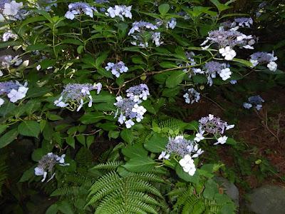 長尾の寺・正俊寺の紫陽花庭園 シダ植物