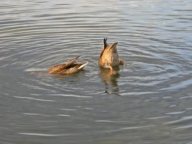 poszukiwanie, polowanie, pływanie, kaczki
