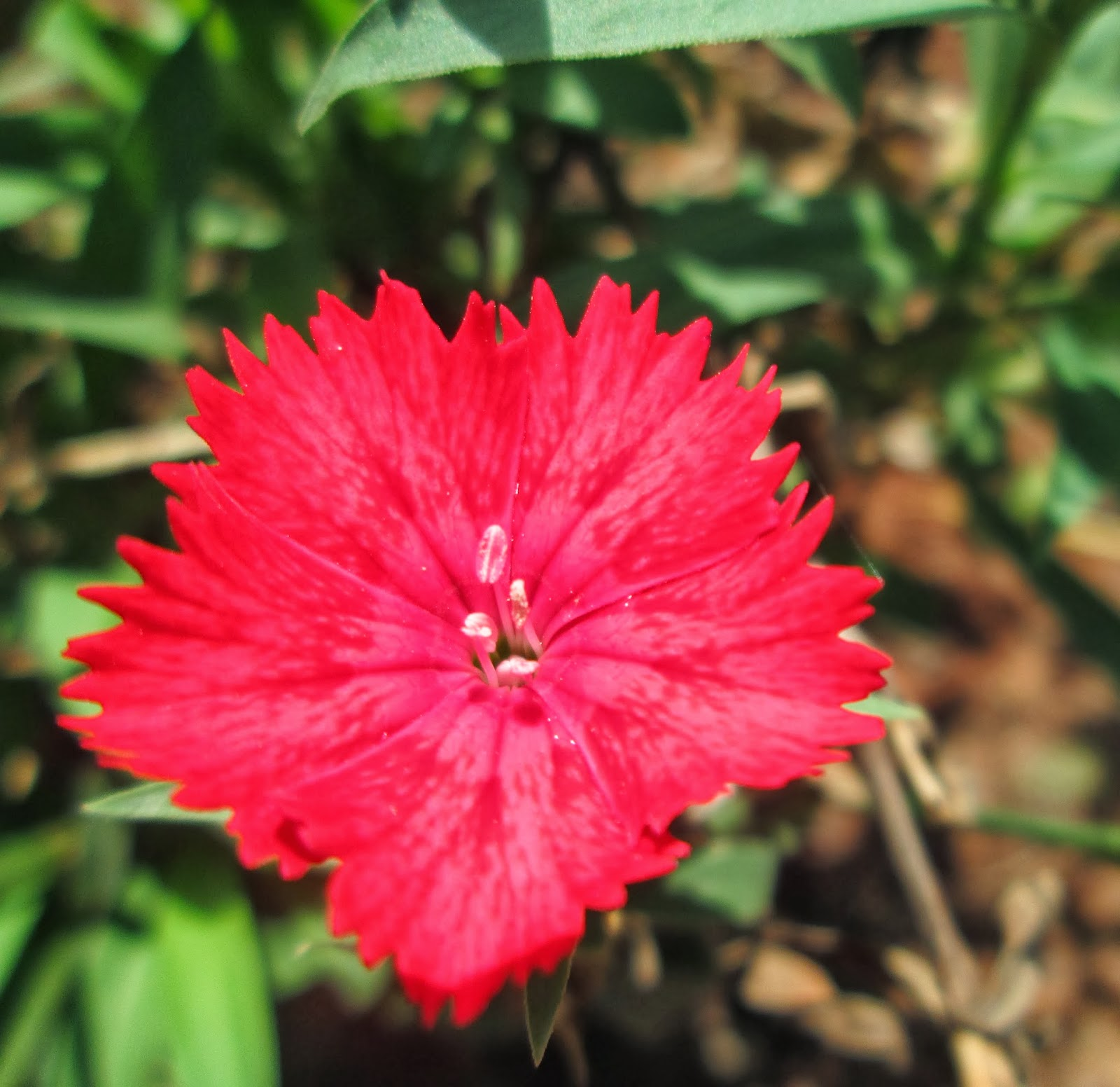 8c3056f502c6 Design Green India  Best Tips for Growing Dianthus at Home