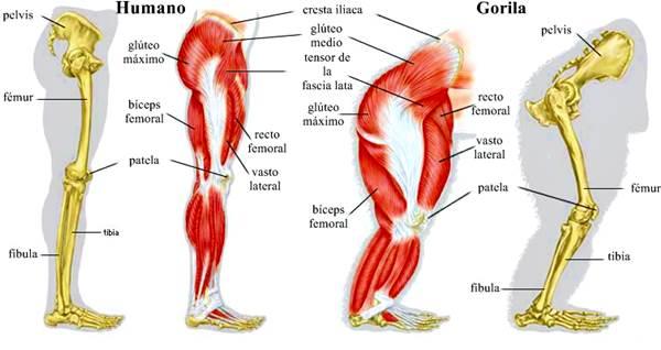 Evolución histórica de los músculos esqueléticos