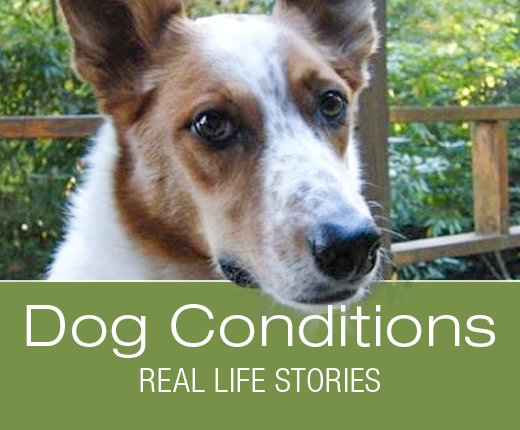 Dog Conditions - Real-Life Stories: Fast Decline: Joey's Hemangiosarcoma