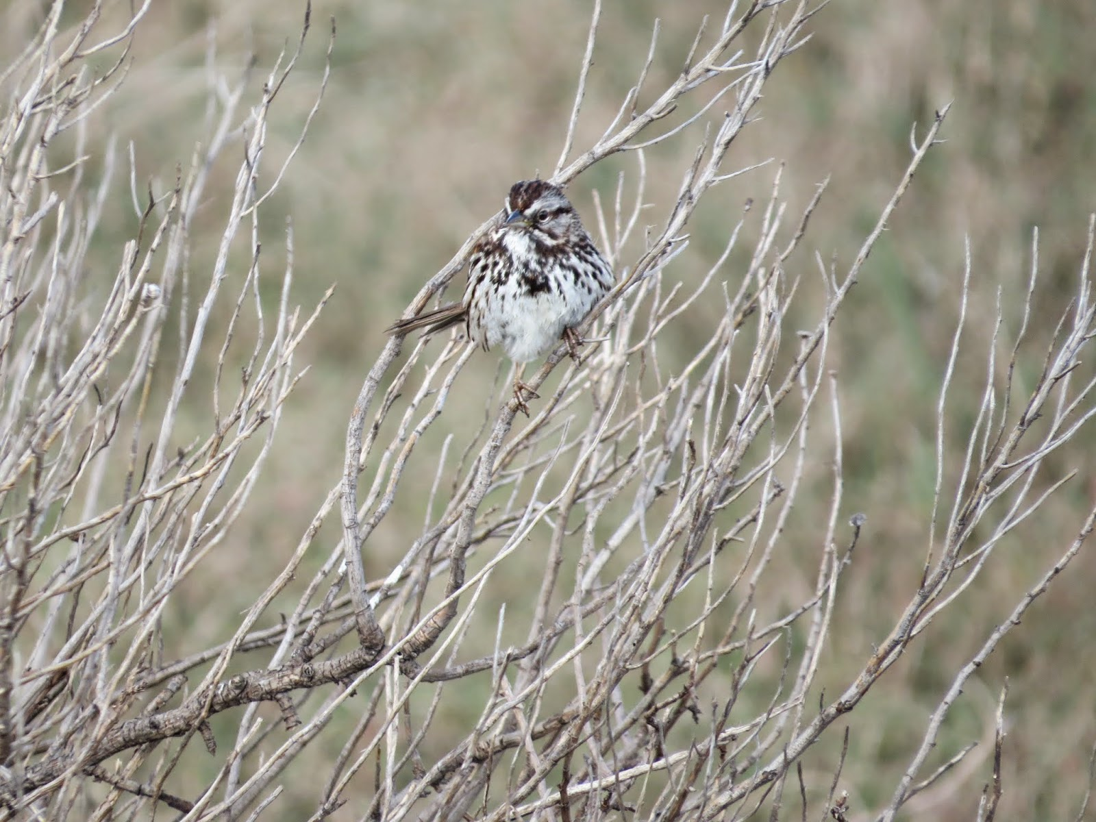 saltmarsh sparrow at Palo Alto Baylands