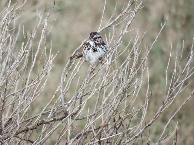 SF Bay Area Birding: saltmarsh sparrow at Palo Alto Baylands