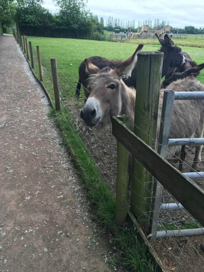 Walnut-tree-farm-park-A-donkey-with-its-head-over-the-fence