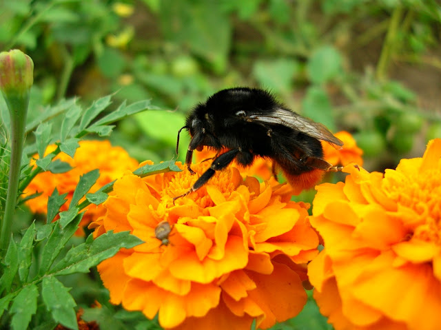 kwiaty, owad, turki, ogród