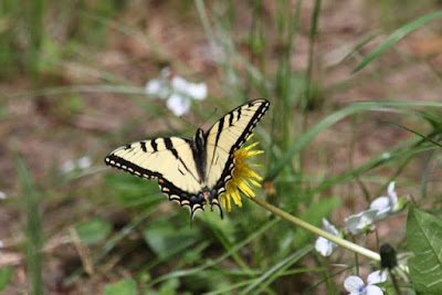 tiger swallowtail butter-fly on dandelion
