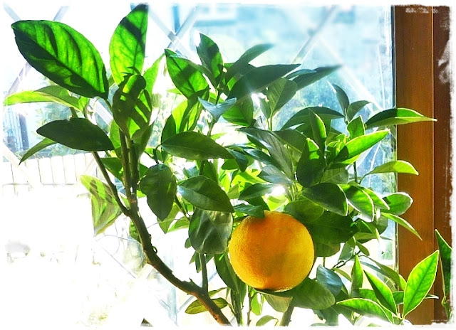 orange-tree-fruiting