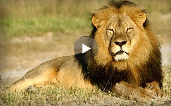 watch lion play with toy cat