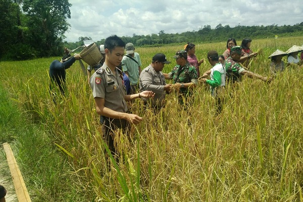 Polisi, TNI Panen Raya Padi Bersama Kelompok Tani di Tapang Semadak Sekadau