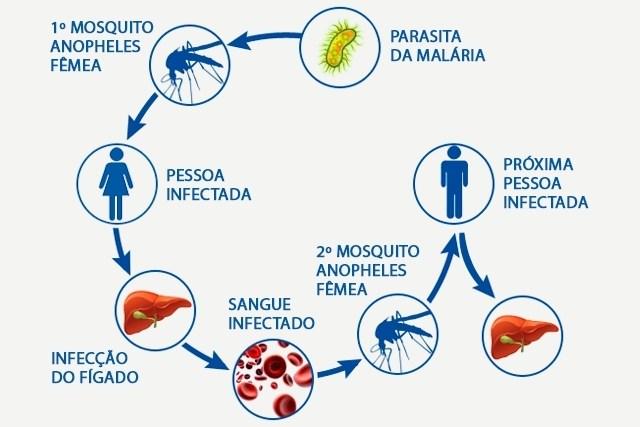 A malária plazmodia eritrocita szakaszai. Jellemzők és formák