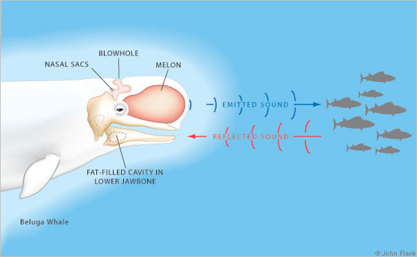 Science Of Hearing III ( Hearing In Vertebrates)