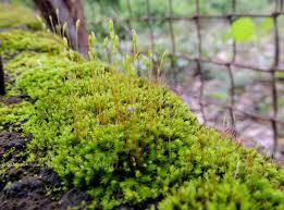 Pengertian Tumbuhan Lumut atau Bryophyta dan Klasifikasi Tumbuhan Lumut (Bryophyta)