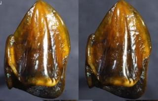 Descoperire științifică care ar putea schimba istoria Dinți fosili vechi de 9,7 milioane de ani