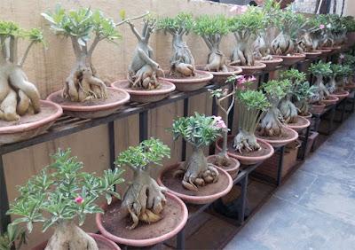 Desert Rose adenium bonsai plants