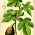 Η συκιά σαν βότανο – FICUS CARICA