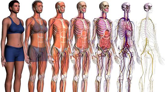Resultado de imagem para sistemas do corpo humano