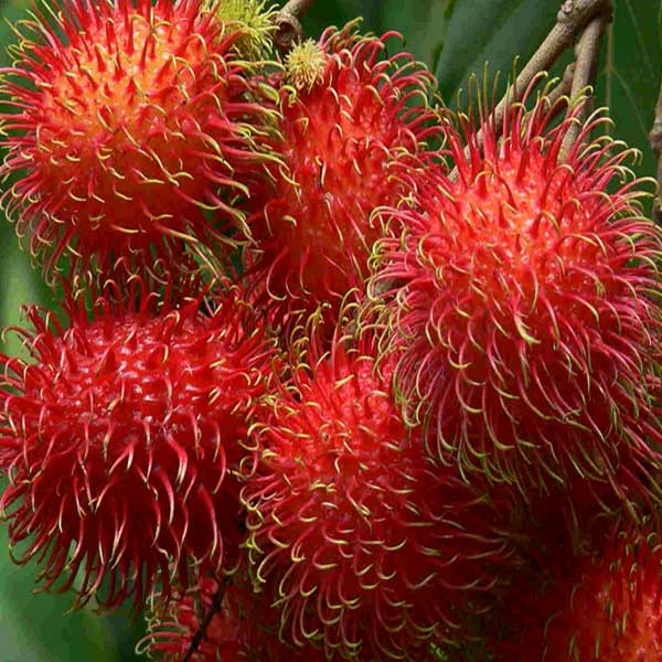 Manfaat-Rambutan-Garuda
