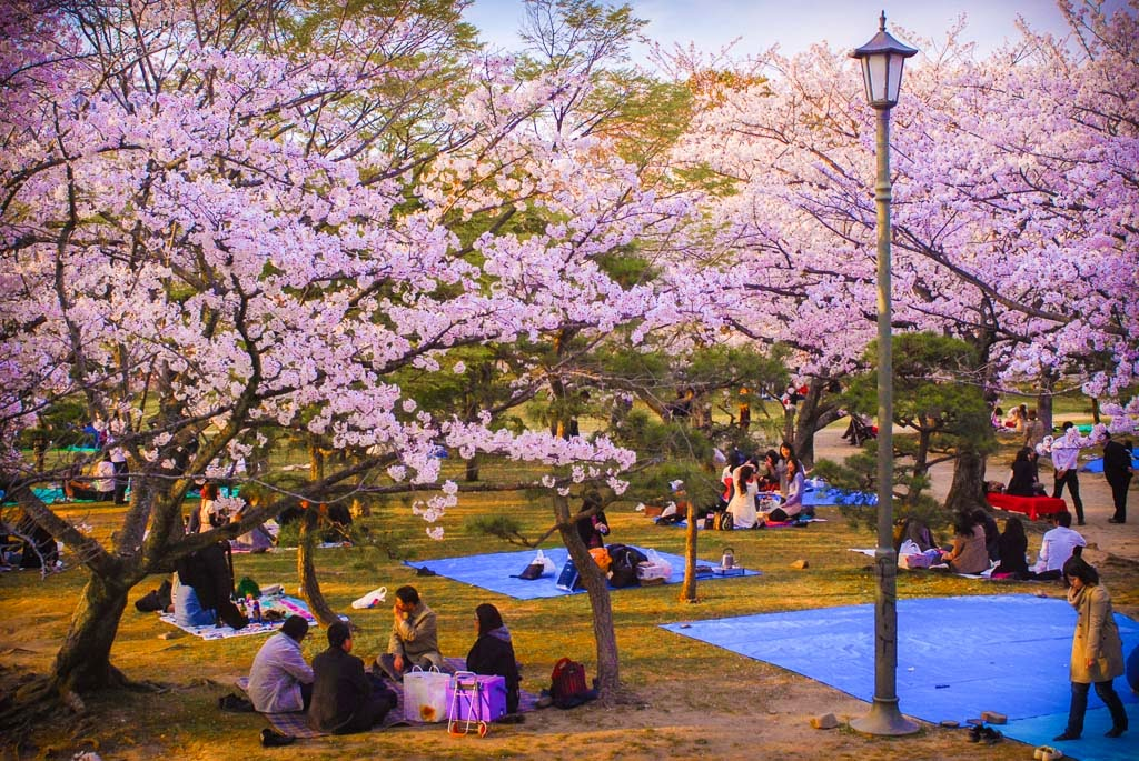 koreans picnic under a canopy of cherry blossoms an icon