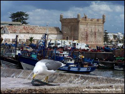 Mouette qui mange un poisson à Essaouira