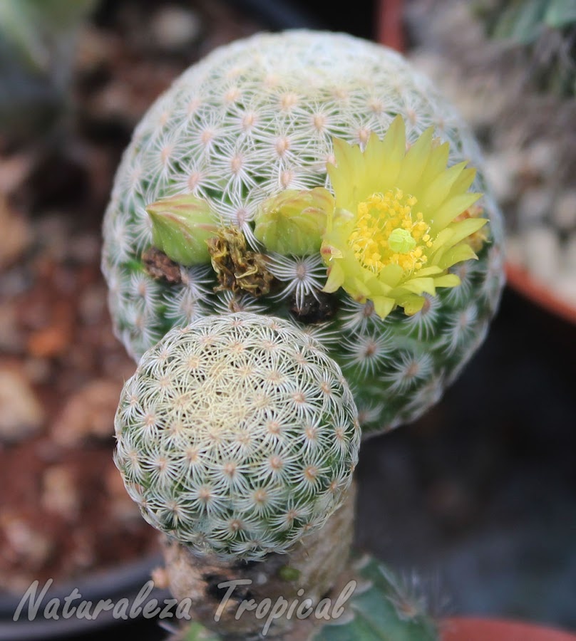 Fotografía del cactus Pitayita florecido, Mammillaria solisioides