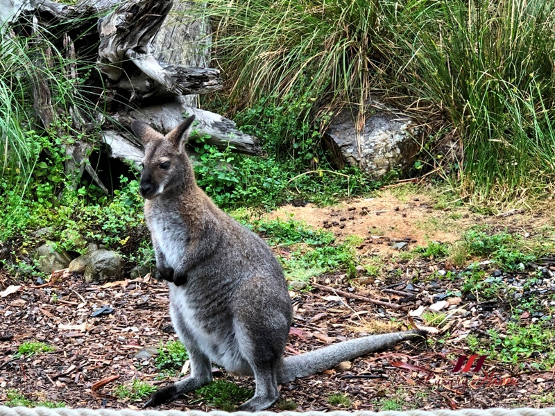 healesville sanctuary australian wildlife rock wallaby