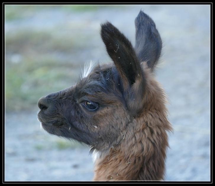 Dakota Ridge Llama Farm
