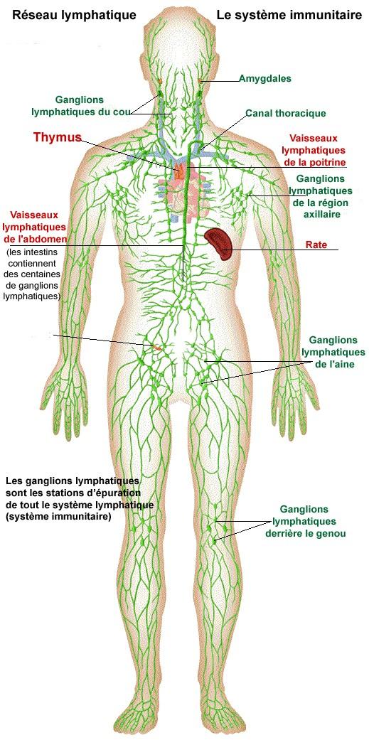 """Résultat de recherche d'images pour """"système lymphatique"""""""