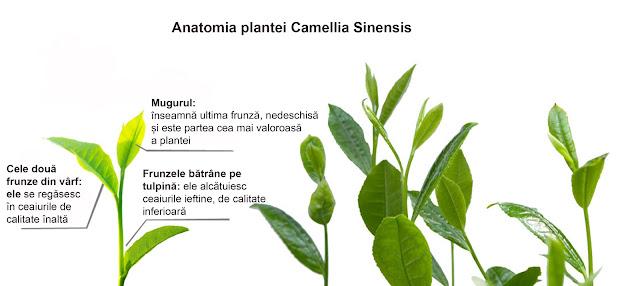 anatomia plantei cemllia sinensis