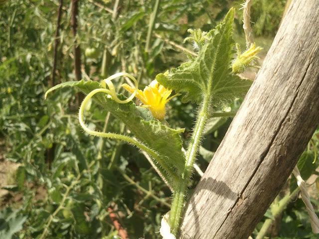 flor do pepineiro