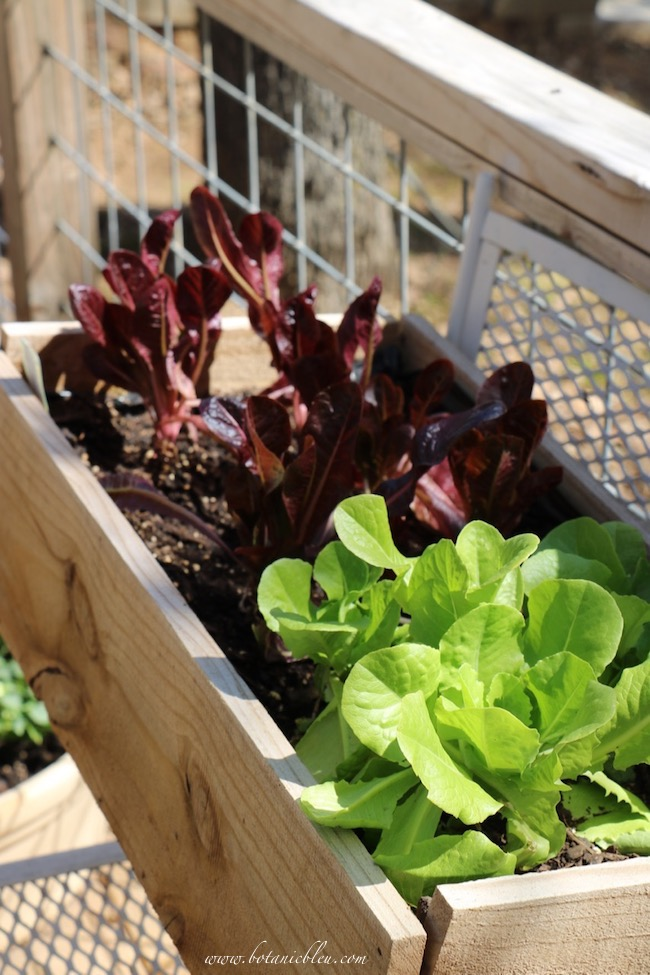 notes from the country lettuce plants on the deck