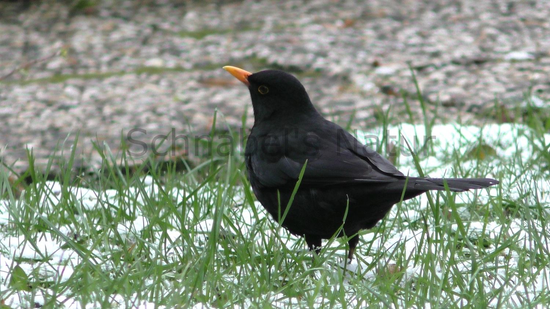 Vogelstimme  zur Imitation Amsel Groß