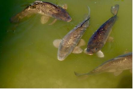 teknik dan Umpan Mancing Ikan Mas di Alam Liar umpan cara teknik jitu danau rawa sungai kedung alami ramuan racikan ampuh