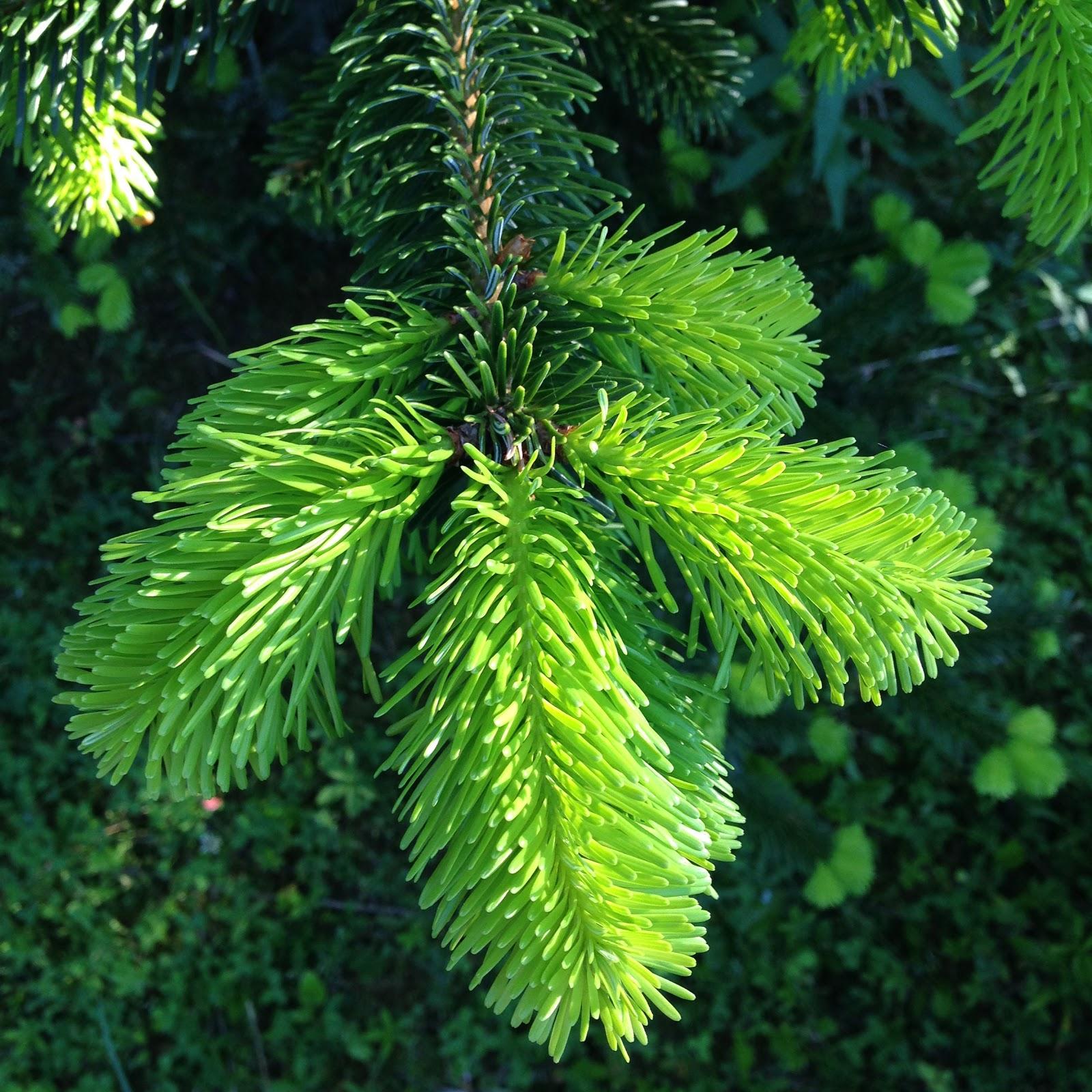 Wo Günstig Weihnachtsbaum Kaufen.Weihnachtsbaumplantagen Günstige Nordmanntannen Kaufen