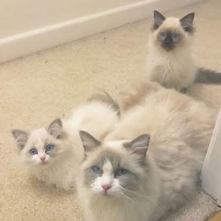 Ragdol Kittens