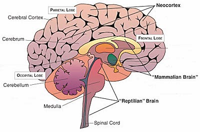 The Vinod Wadhawan Blog: 119. The Human Neocortex