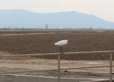 Garceta en el Delta del Ebro