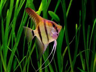 Jenis Ikan Populer yang Cocok Untuk Aquascape