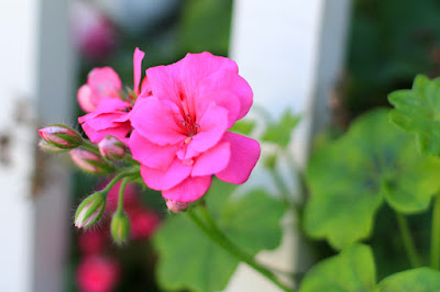 Fuchsia Pink Geraniums - Flower Photography by Mademoiselle Mermaid