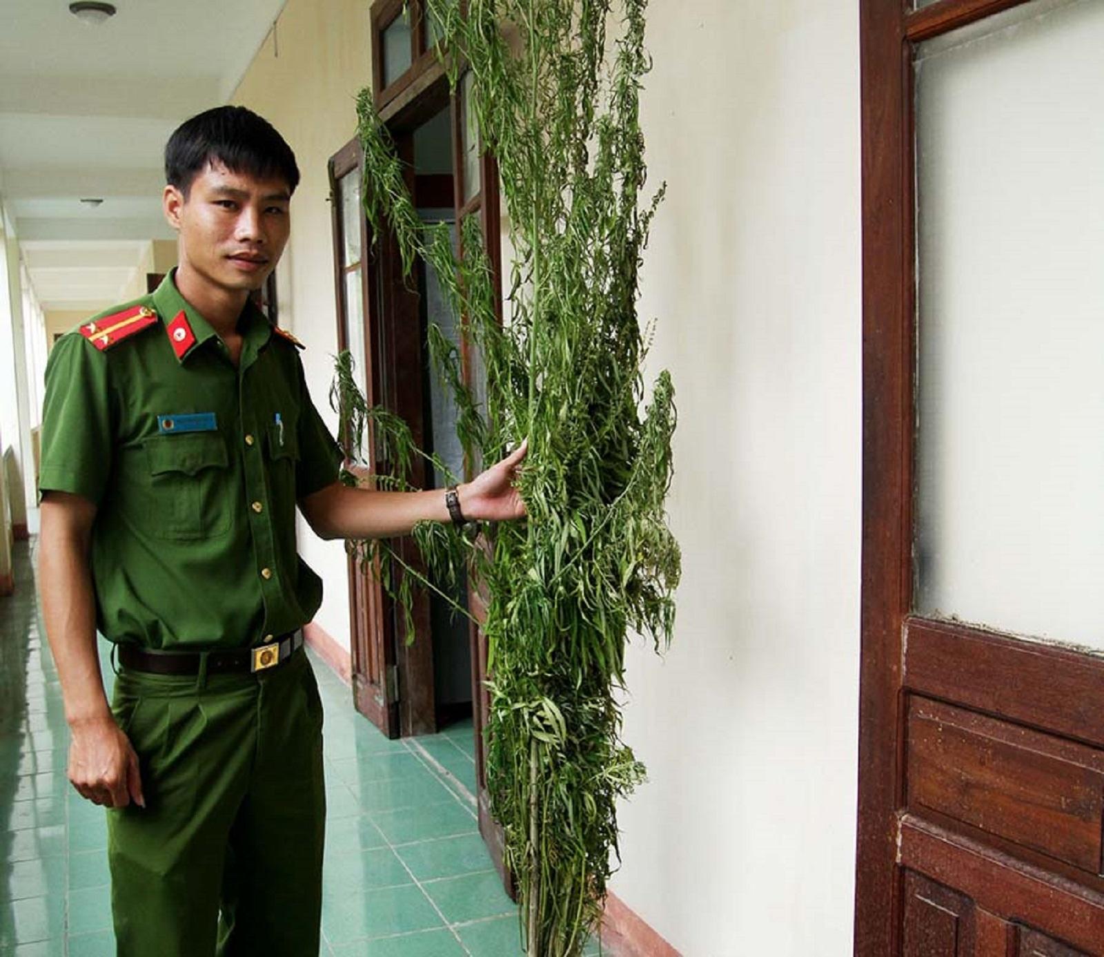 Gia Lai: Phát hoảng với hơn 200m2 cây cần sa trong... rẫy nhà