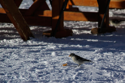 Gorrión alpino (Montifringilia nivalis). Comiendo los restos en una estación de esquí.