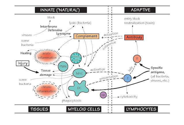 Innate And Adaptive Immune Mechanisms