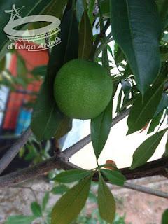 penampakan buah