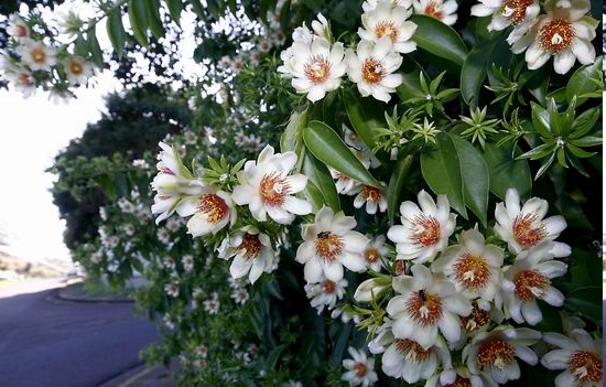 Περέσκια: pereskia aculeata mill... Ένα από τα καλύτερα μελισσοκομικά φυτά στον κόσμο